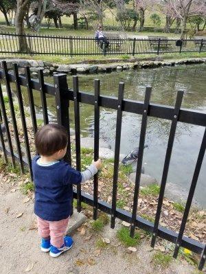 鳩を見つめる孫
